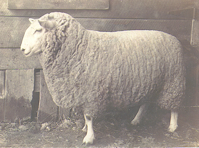 Montadale sheep breeders association breed information