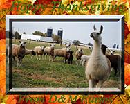 montadale sheep essay contest